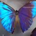 butterflysquare1